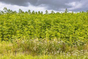 поле с канабис в страни с тетанус